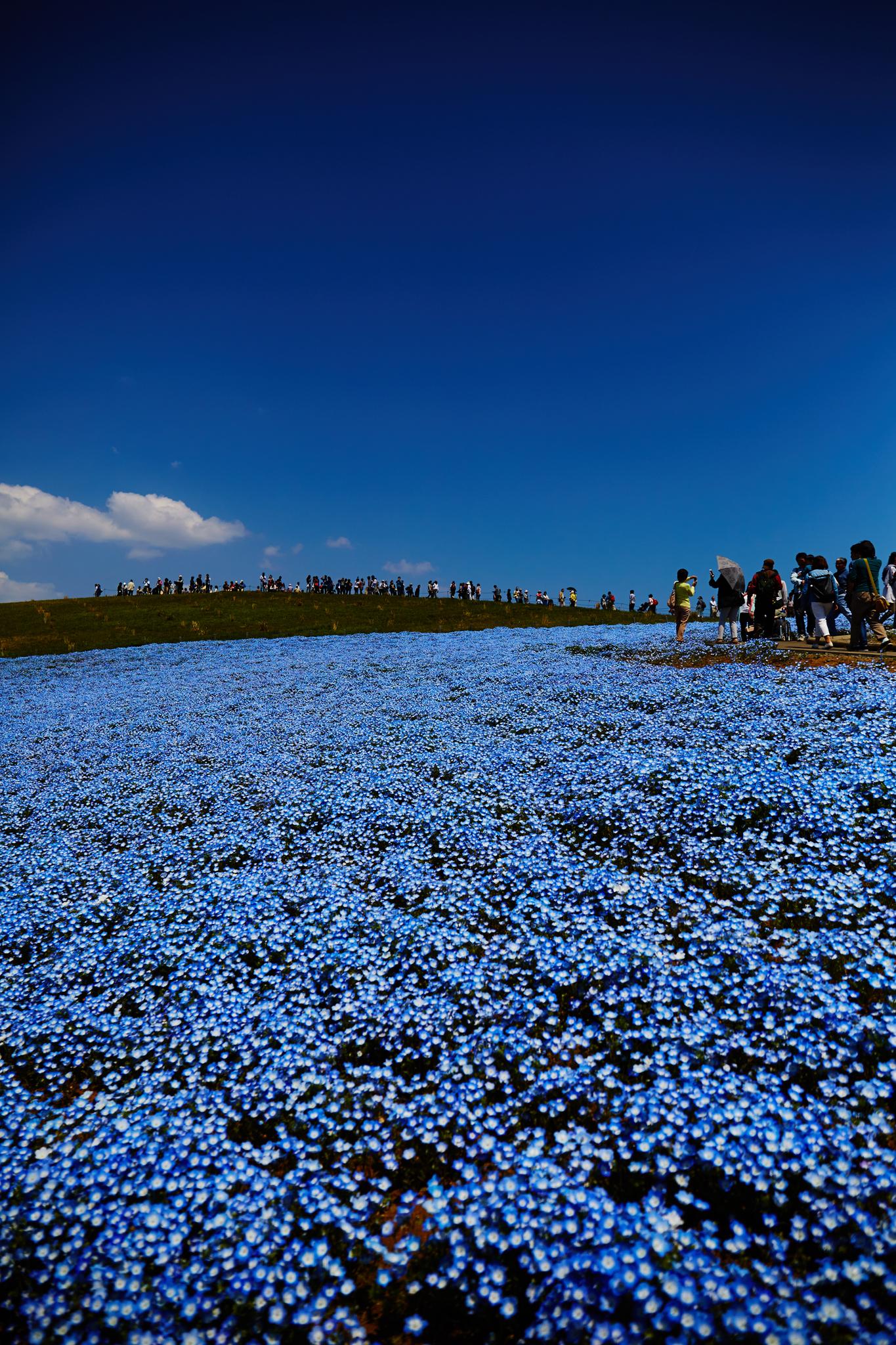 4k 5k壁紙で15年を振り返る ネモフィラで有名な国営ひたち海浜公園は茨城の鉄板観光スポットだ ハルカメラ Halcamera Com