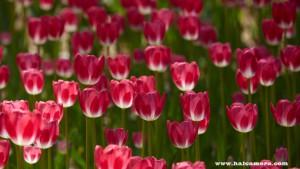 tulip_cr_s