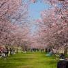 安行寒桜の並木を撮る