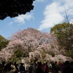 六義園のしだれ桜を撮る