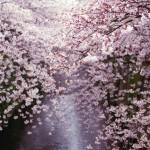 目黒川の桜並木を撮る
