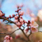 【山梨めぐり】梅の名所は不老園に行ってきた